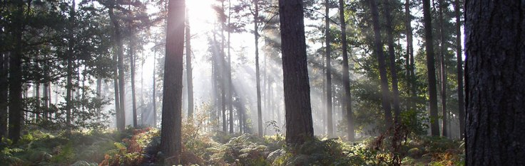 cannock-chase-trees-light